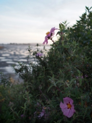 rock rose bodega bay