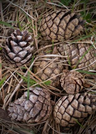 bunge pine cones