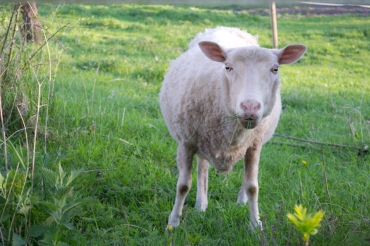 sheep at Laser Sati