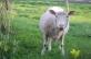 sheep at Laser Sati