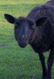 Black sheep Laser Sati