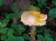 Turpin's trail mushroom, Fogo Island